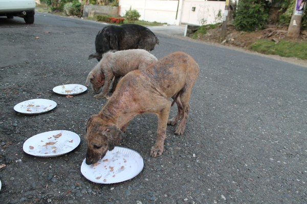 Hungry Stray Dogs eats the food brought by Ken - Happy Animals Club